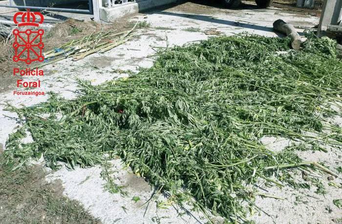 Marihuana plantazio bat atzeman dute Leitzan